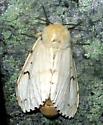 Gypsy Moth - Lymantria dispar - female