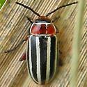 flea beetle  - Disonycha procera