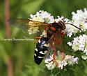 Wasp - Sphecius speciosus - female