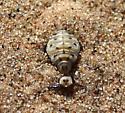 Ant Lion Larva, Myrmeleon sp. - Myrmeleon