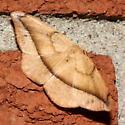 Juniper-twig Geometer - Patalene olyzonaria
