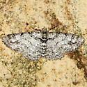 Geometrid Moth - Cleora sublunaria