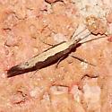 Moth - Plutella xylostella