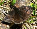 Wild Indigo Duskywing - Erynnis baptisiae - male