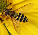 Pollinating Fly ID Request - Syrphus - female