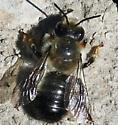 Mason Bee? - Megachile melanophaea