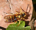 Nomada ID Request - Nomada - female