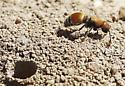 Dasymutilla vesta - velvet ant wasp - Pseudomethoca propinqua - female
