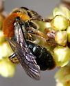 Andrena (Trachandrena) - Andrena fuscicauda - female