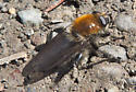 Syrphid with Golden Thorax - Brachypalpus alopex - male