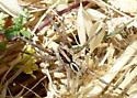 spider - Schizocosa mccooki
