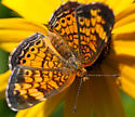 Pearl Crescent (not a Fritillary) - Phyciodes tharos