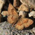 Brown Butterfly - Calephelis nemesis