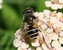 Which fly is this, please? - Eristalis arbustorum - female
