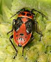 Small Milkweed Bug nymph - Lygaeus kalmii