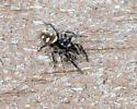 ID this jumping spider? - Salticus scenicus