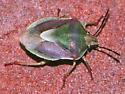 Stink bug found upstairs in house,  almost certainly Antheminia remota. - Antheminia remota