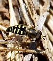 Bird Hover Fly - Eupeodes volucris - Eupeodes volucris - male