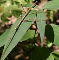 Northern Walking Stick - Diapheromera femorata