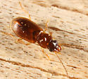Ground beetle - Acupalpus