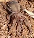 Spider under Barrel - Aphonopelma