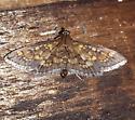 Darker Diacme Moth - Diacme adipaloides