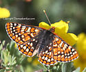 Variable checkerspot? - Euphydryas anicia - female