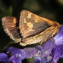 Peck's Skipper in October, Upstate New York - Polites peckius