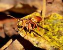 Paper wasp - Polistes rubiginosus - male