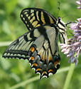 Eastern Tiger Swallowtail - female - MN - Papilio glaucus - female