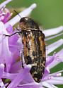Which buprestid? - Acmaeodera hepburnii