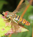 Toxomerus politus - male