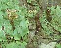 Formicidae -- Tapinoma? - Linepithema humile