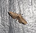 unidentified Eupithecia moth