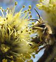 Possibly an Andrenid bee - Andrena dunningi