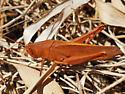 Grasshopper - Schistocerca damnifica - male