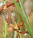 Narrow-winged Hanging-Thief - Diogmites angustipennis - male - female