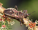 Assasin Bug - Apiomerus spissipes