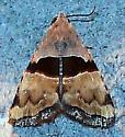 Cobubatha lixiva (Cobubatha lixiva - Hodges#9014) - Cobubatha lixiva