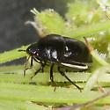 Corimelaena pulicaria