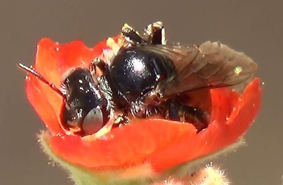Small Mining Bee Multi-view - Calliopsis subalpina - female