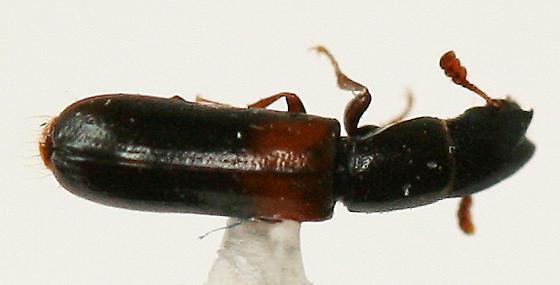 tiny Bark-gnawing Beetle - Nemozoma punctulatum - male