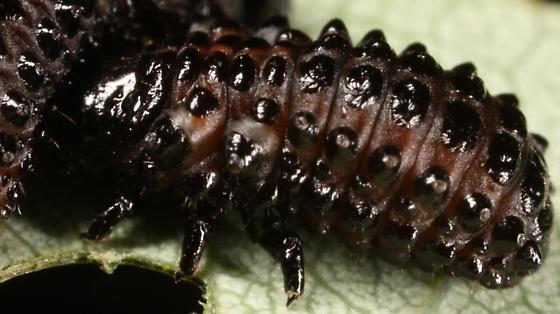 Leaf beetle? - Chrysomela crotchi