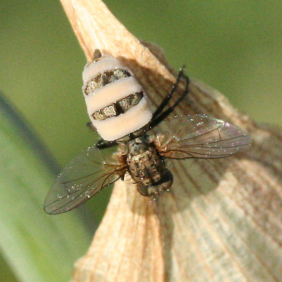 Fungus Covered Fly
