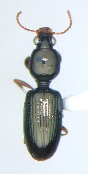 Dyschirius erythrocerus