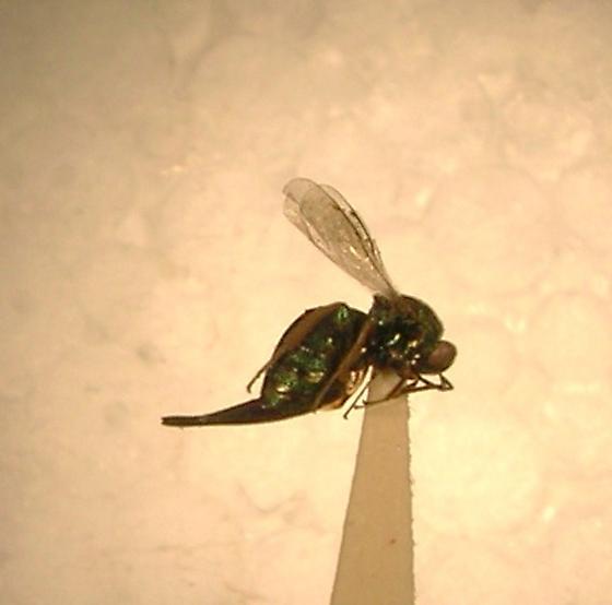 Ormyrus sp. - Ormyrus - female
