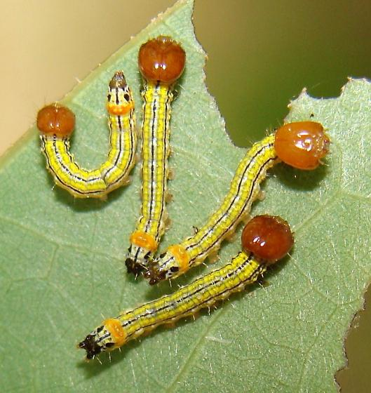 Newly hatched Datana caterpillars? - Symmerista