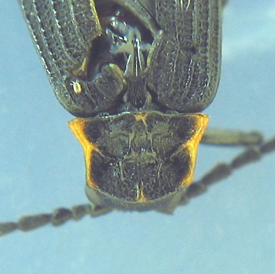 black-orange-chartreuse netwing beetle - Erotides sculptilis