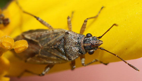 Which Plant Bug Adult is this? - Xyonysius californicus