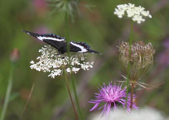 Butterfly I.D., please - Limenitis arthemis